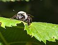 Andrena vaga.jpg