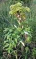 AngelicaArchangelica1.jpg
