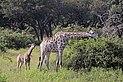 Angolan giraffe (Giraffa camelopardalis angolensis) female with young 2 months.jpg