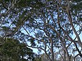 Angophora costata IMG 20160825 150638 (29122837422).jpg