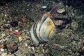 Anodonta cygnea 2.jpg