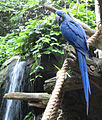 Anodorhynchus hyacinthinus -Disney Animal Kingdom, Orlando, Florida, USA-8a.jpg