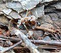 Anoplolepis custodiens, met prooi, e, Krugersdorp.jpg