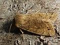 Anorthoa munda - Twin-spotted Quaker - Ранняя совка рыжеватая (41057789231).jpg