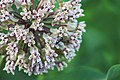 Ant Pollinating Common Milkweed (35444269275).jpg