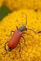 Anthocomus.rufus.-.lindsey.jpg