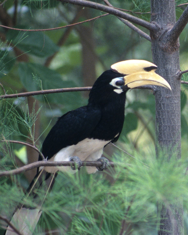 Bonte Neushoornvogel Wikipedia