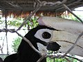 Anthracoceros marchei -head -side -Eagle Point Resort-8a.jpg