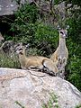 Antilope-parc kruger-2012-01.JPG