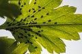 Aphids on Leaves.jpg