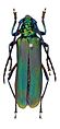 Aphrodisium tricoloripes - ZooKeys-275-067-g001-5a.jpeg