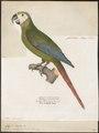 Ara severus - 1842-1855 - Print - Iconographia Zoologica - Special Collections University of Amsterdam - UBA01 IZ18500117.tif