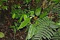 Araceae (Id ?) (22572461493).jpg