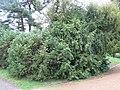 Arboretum de Bagnoles - Cephalotaxus fortunei.jpg