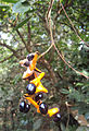 Archidendron monadelphum 04.JPG