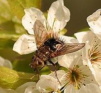 Archytas fly