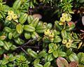 Arcterica nana (fruits).JPG