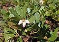 Arctostaphylos uva-ursi kz05.jpg
