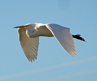 Great egret - In flight