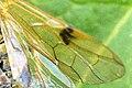Arge.rustica9.-.lindsey.jpg