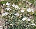 Argemone pleiacantha – Southwestern Pricklypoppy Flower - Flickr - gailhampshire.jpg