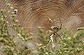 Argiope lobata y argyrodes (4898015795).jpg