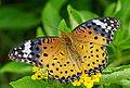 Argyreus hyperbius female ventral view 20140712.jpg