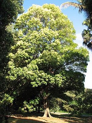 Argyrodendron actinophyllum - Image: Argyrodendron actinophyllum