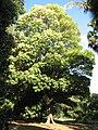 Argyrodendron actinophyllum.jpg