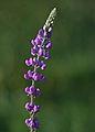 Arizona Lupine (3105708054).jpg