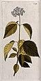 Arrowwood (Viburnum dentatum L.); flowering stem. Coloured e Wellcome V0042862.jpg