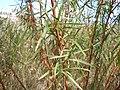 Artemisia dracunculus (5021063648).jpg