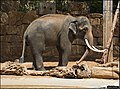 Asian-Elephant-Jerusalem-Jerusalem-Biblical-Zoo-IZE-351.jpg