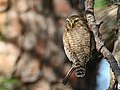 Asian Barred Owlet (Glaucidium cuculoides) (30021013518).jpg