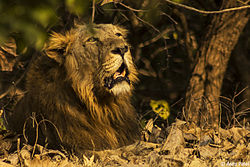 Gir Forest National Park is home to the only wild population of the Asiatic lion in the world.