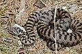 Asp Viper (Vipera aspis) male (found by Jean NICOLAS) (34941989463).jpg