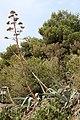 Asparagales - Agave americana - 2.jpg