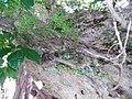 Asparagus aethiopicus 'Sprengeri' L. (AM AK296659-2).jpg