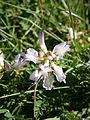 Astragalus alpinus 002.jpg