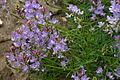 Astragalus austriacus (Österreich-Tragant) IMG 9358.JPG