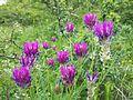 Astragalus onobrychis sl2.jpg