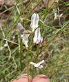 Astragalus remotus 12.jpg
