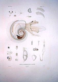 <i>Atlanta</i> (gastropod) genus of molluscs