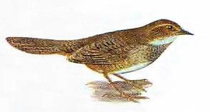 Braunbauch-Dickichtvogel (Atrichornis clamosus)
