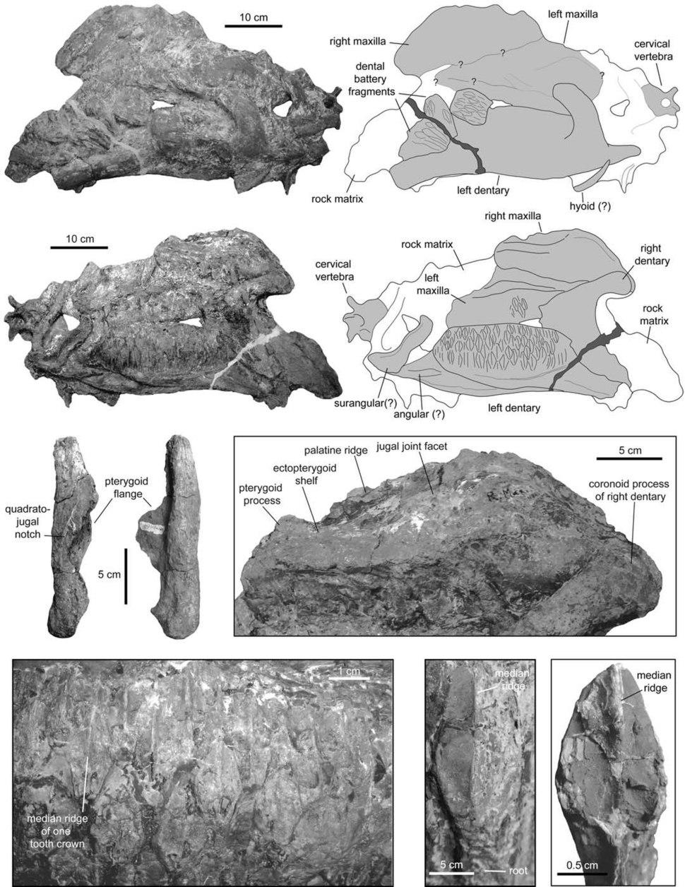 Augustynolophus favcial and mandubular elements