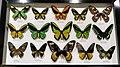 Australian Butterfly Sanctuary - specimens 06.jpg