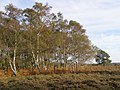 Autumnal silver birch on Homy Ridge, New Forest - geograph.org.uk - 274842.jpg