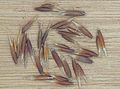 Avena sativa black oat, Zwarte haver graankorrels (1).jpg
