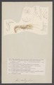 Axia - Print - Iconographia Zoologica - Special Collections University of Amsterdam - UBAINV0274 006 02 0031.tif