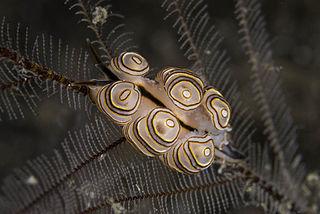 <i>Doto greenamyeri</i> species of mollusc